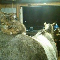 cat sleeping on horse