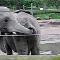 elephant likes poo