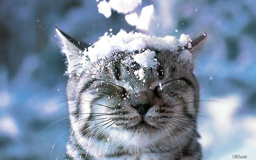 snow head cat - pichars.org