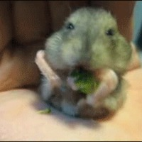hamster enjoys broccoli