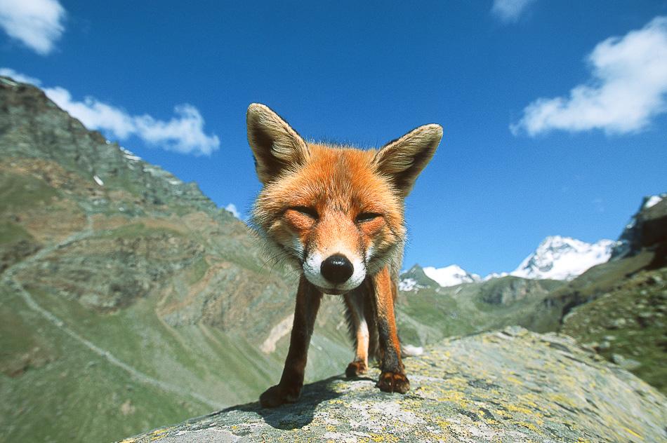 happy fox - pichars.org