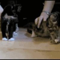 nacrolepyic kittens