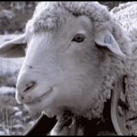 deal with it sheep