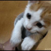 kitten pops