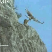 Eagle kills Goat