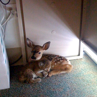 cat and fawn coexist