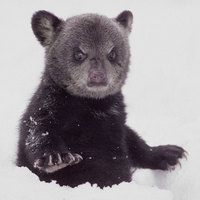 bear karate