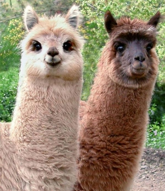 alpacas - pichars.org
