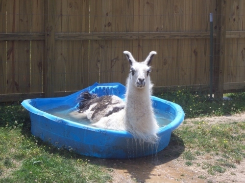 this is a llama in a pool