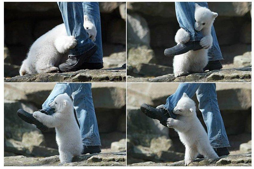 vicious polar bear attack - pichars.org