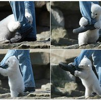 vicious polar bear attack