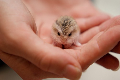 baby hamster