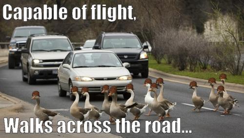 capable of flight, walks across road