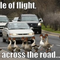 capable of flight, walks across road