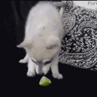 puppy tastes lime