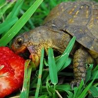 turtle ates