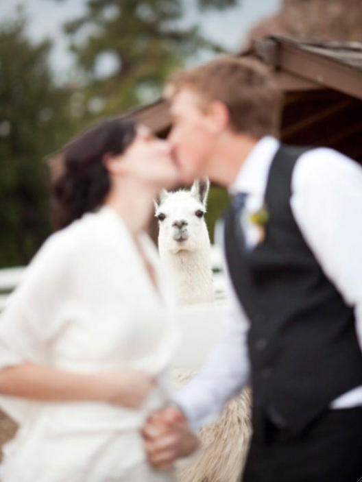 alpaca photobomb - pichars.org
