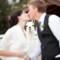 alpaca photobomb