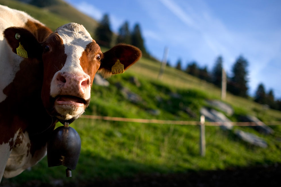 a derpy cow! - pichars.org