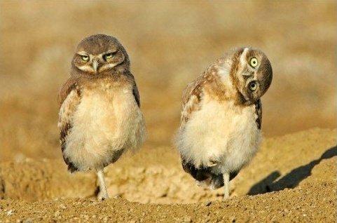 endangered derp owl
