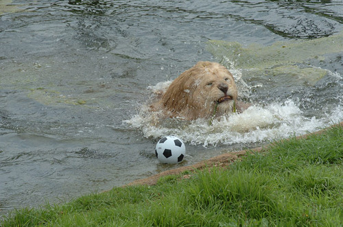 weird animal fetches soccer ball