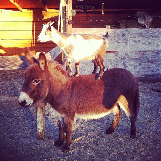 small goat on donkey/small horse