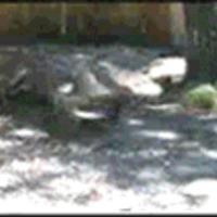 alligator watermelon chomp