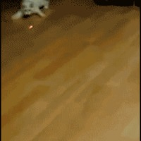 silly cat chase laser