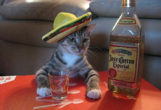 cat drinking tequila
