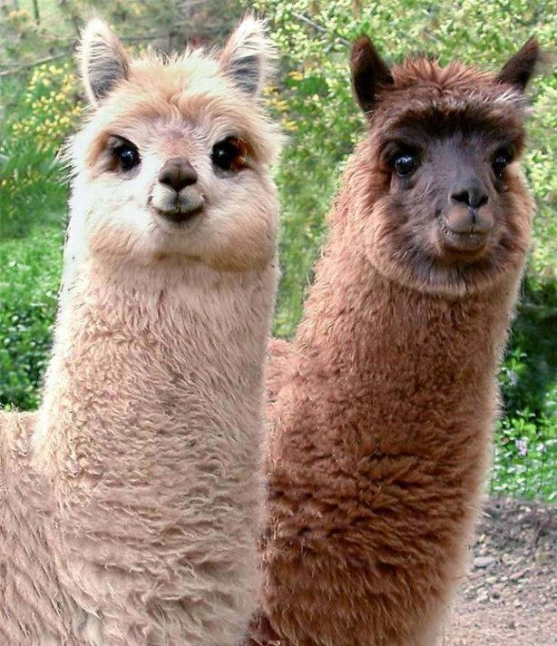 creepy alpaca - pichars.org
