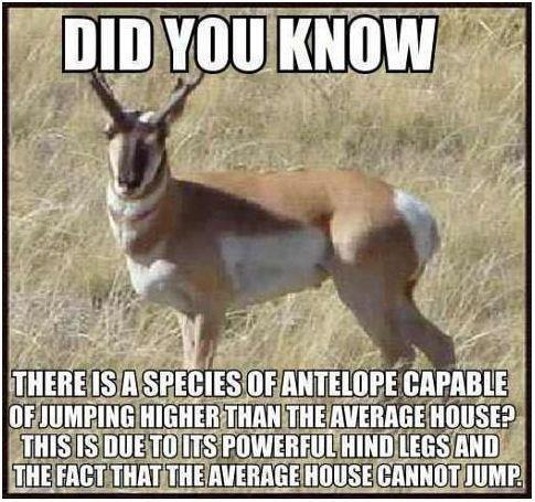 antelope jumping fact