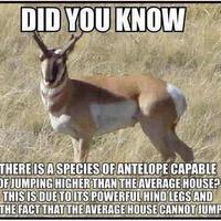 antelope jumping fact